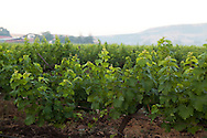 Sula Wines, Nashik, Indien <br /> COPYRIGHT 2009 CHRISTINA SJ&Ouml;GREN<br /> ALL RIGHTS RESERVED