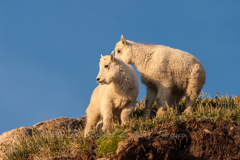 Mountain goat kids in Colorado