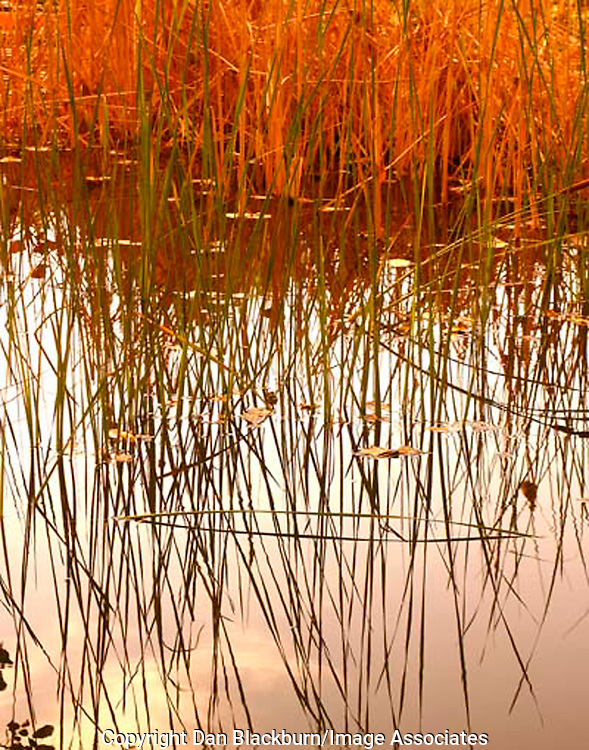 Vibrant reeds reflected in a still water of a pond at Lake Balboa Wildlife Refuge, Southern California.
