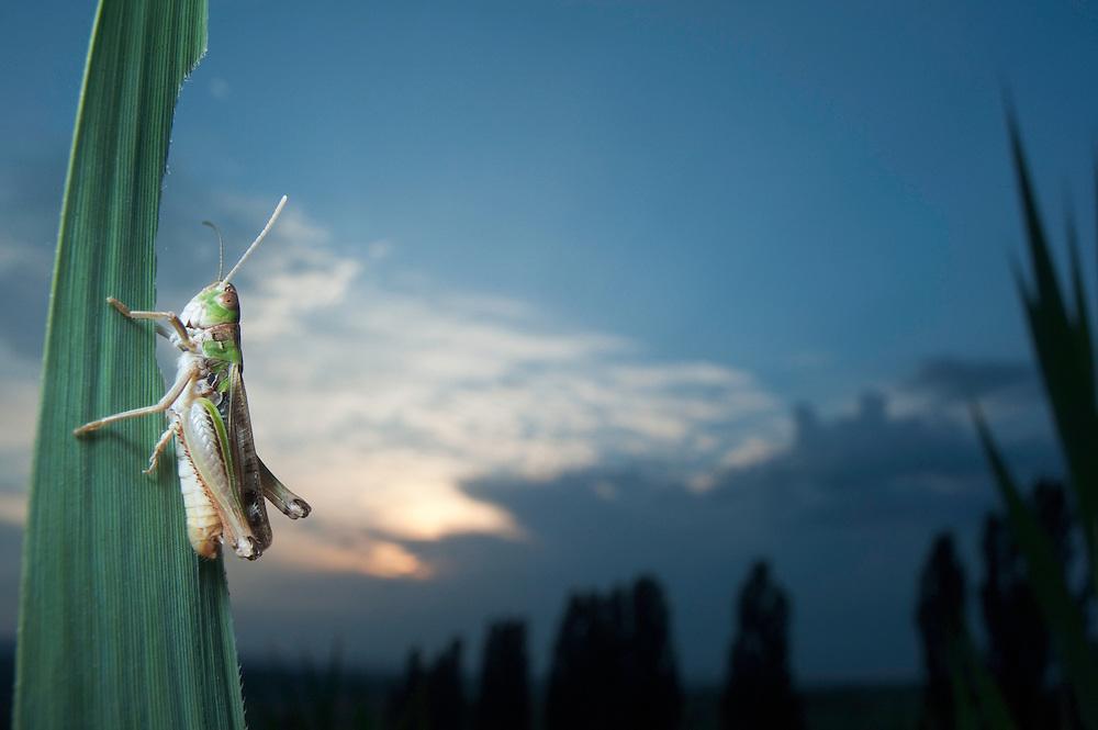 Moroccan locust (Dociostaurus maroccanus) in Moldova near adurea Domnesca National Park