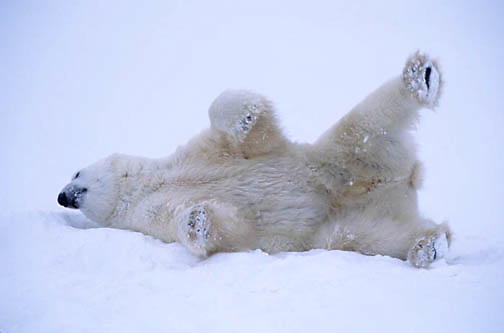 Polar Bear, (Ursus maritimus)  Rolling around in snow. Cape Churchill, Manitoba. Canada.