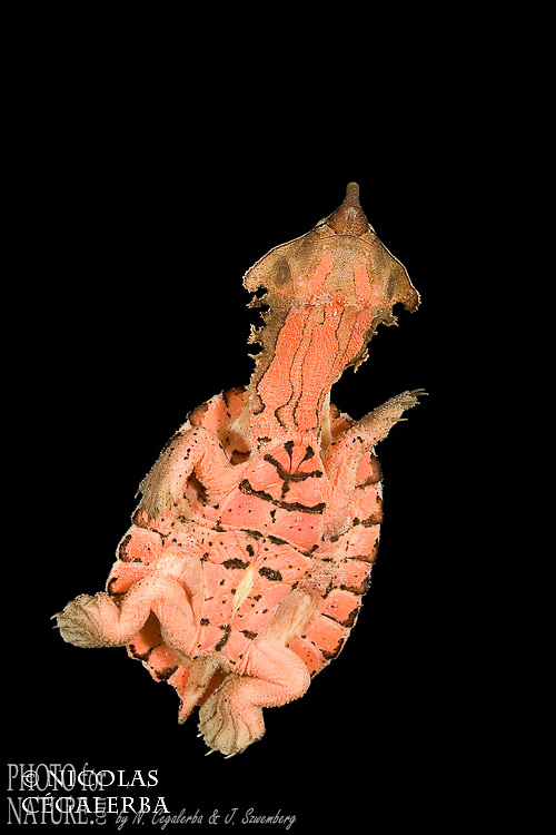 Tortue matamata nageant, Chelus fimbriatus