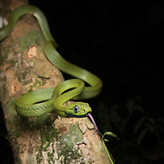 Green Cat Snake (Boiga cyanea) in Kaeng Krachan national park, Thailand
