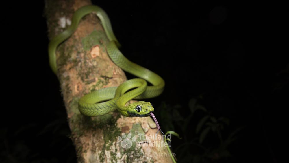 Green Cat Snake (Boiga cyanea) in Kaeng Krachan national park, Thailand