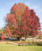 Liquidambar styraciflua, the American sweetgum or redgum, in autumn leaf, Woodbridge, Suffolk, England, UK