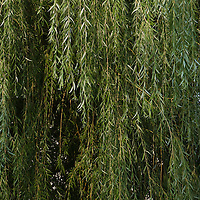 Weeping willow tree, Close up,  Plainfield, Illinois, USA (Salix babylonica)