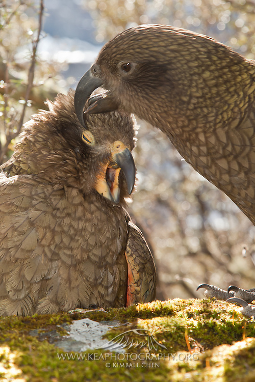 A juvenile kea parrot lets out of screech of appreciation as its parent tenderly scratches its head feathers.  Despite such sharp and curved beaks, the kea is quite adept at using its bill like a Swiss-Army knife for many purposes, from preening to peeling bark, to prying apart windshield wipers on cars!