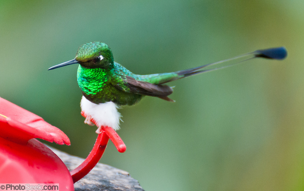 """The Booted Racket-tail (or Racquet-tail; or Racquet-tailed Hummingbird; Latin name Ocreatus underwoodii) in Bellavista Cloud Forest Reserve, in the """"Mindo Area of International Importance for Birds,"""" Tandayapa Valley, near Quito, Ecuador, South America."""