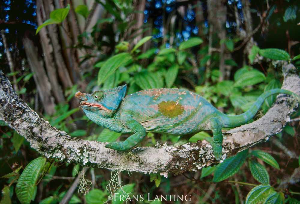 Parson's chameleon on branch, Calumma parsonii, Eastern Madagascar