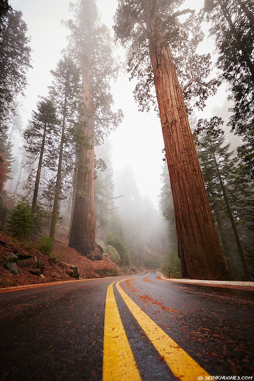 Old-growth sequoia trees in the Giant Forest tower above the Generals Highway in Sequoia National Park, California.