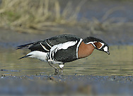 Red-breasted Goose Branta ruficollis (L 55-60cm) is unmistakable with its red, black and white plumage. It breeds in Siberia and normally winters in Romania.