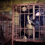 """A wild black bear locked in a cage in a """"bear farm"""" near Yianji city in northeastern China..A rusty metal instrument is permanently inserted in the bear's belly, extracting its bile juice, a substance prized by the Chinese as a medicine..This farm houses about 30 adult and young bears, all of them locked here for the rest of their lives..There are no more wild bears in the area."""