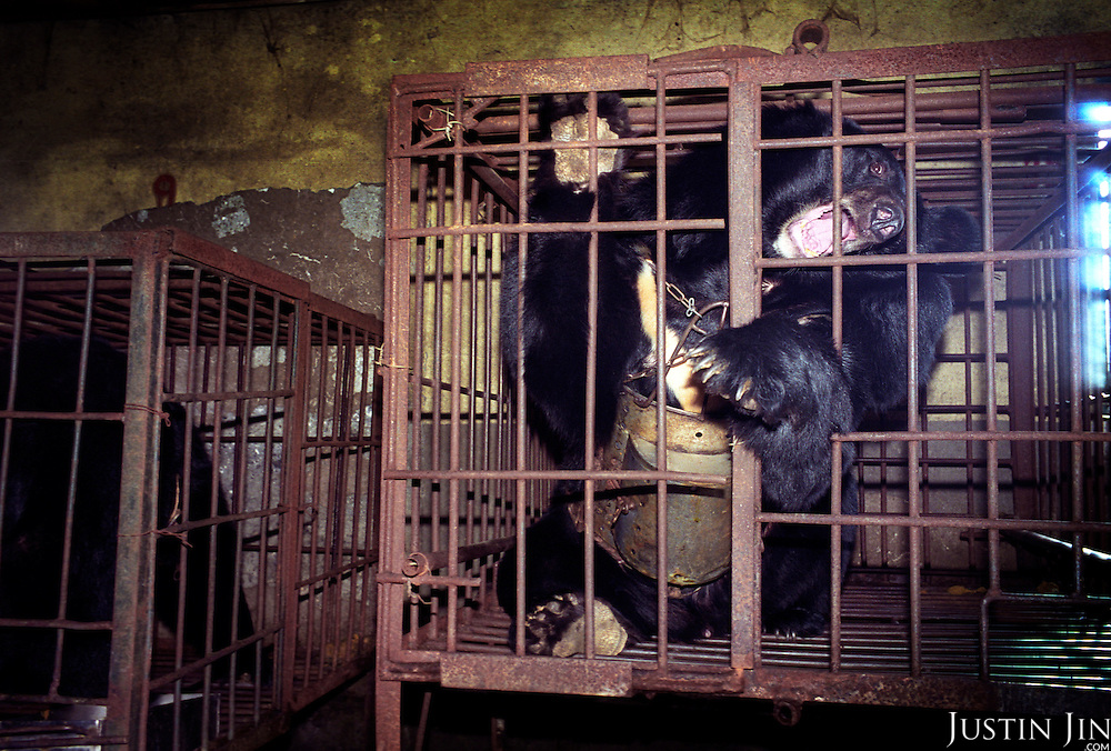"A wild black bear locked in a cage in a ""bear farm"" near Yianji city in northeastern China..A rusty metal instrument is permanently inserted in the bear's belly, extracting its bile juice, a substance prized by the Chinese as a medicine..This farm houses about 30 adult and young bears, all of them locked here for the rest of their lives..There are no more wild bears in the area."
