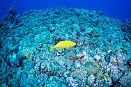 Yellow-spotted trevally-Carangue tachetée (Carangoides orthogrammus) of Red Sea, Sudan