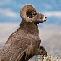 jumping bighorn ram sheep wild rocky mountain big horn sheep