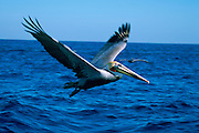 Pelican, Baja California, Mexico<br />