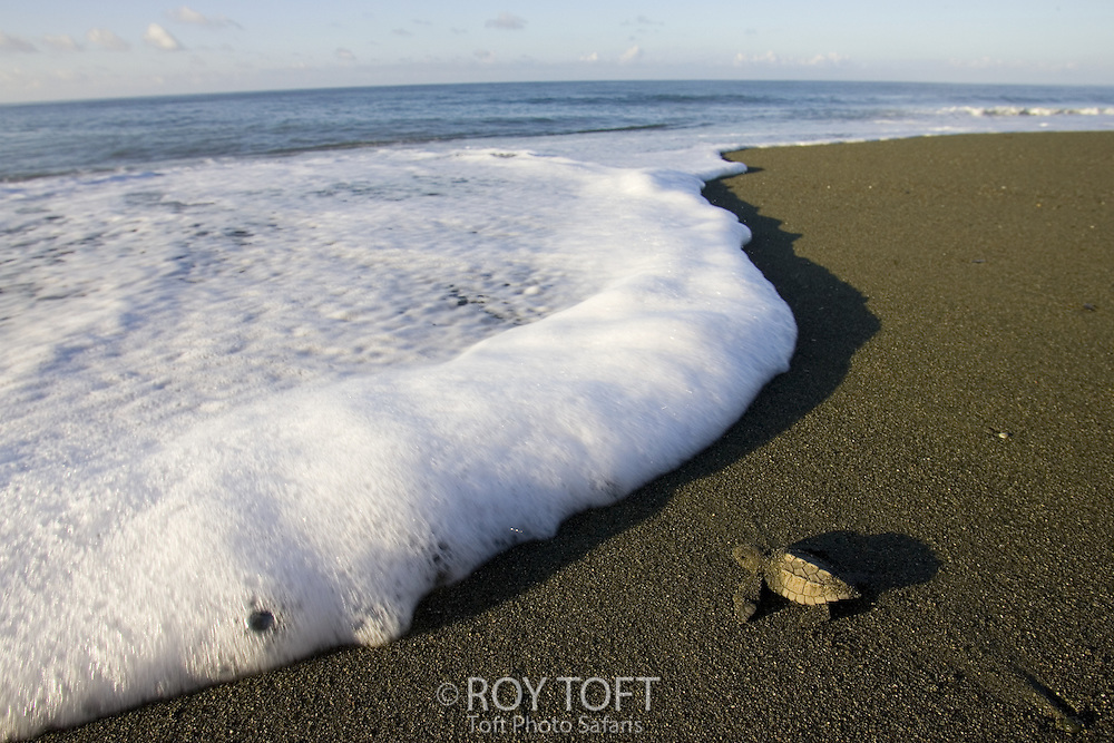 Olive Ridley Sea Turtle (lepidochelys olivacea) hatchling making its way to the ocean, Osa Peninsula, Costa Rica.