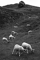 Recently sheared sheep grazing in Winnats Pass, Peak District, England