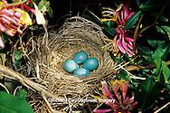 01382-04118 American Robin (Turdus migratorius) nest with four eggs in Honeysuckle (Lonicera heckrotti) vine Marion Co.  IL