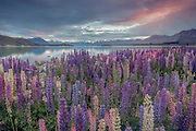 A warm sunrise glow awakens the lupins, Tekapo, New Zealand