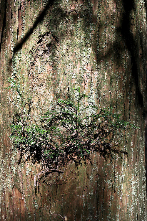 close up of a Japanese cedar tree with fresh sprouting twigs