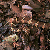 """Jararaca-do-banhado """"Dryadophis bifossatus"""", Santa Catarina, Brasil, 00/00/2003. foto de Ze Paiva/Vista Imagens"""