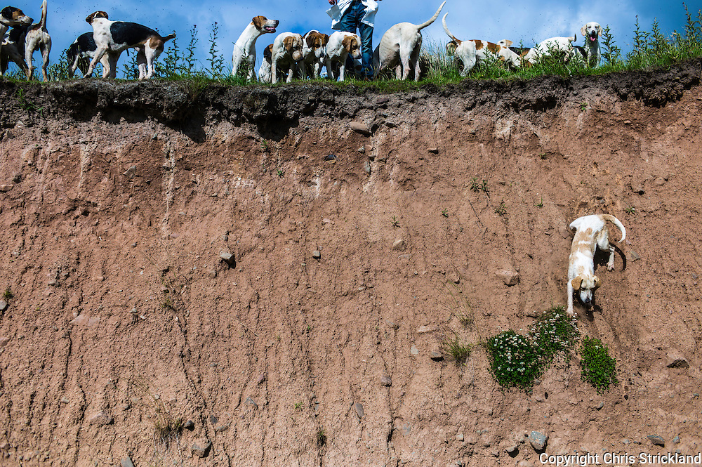 Abbotrule, Bonchester Bridge, Hawick, Scotland, UK. 19th July 2015. A hound of the Jedforest Hunt decides to scale a vertical bank on the Rule Water while on exercise on a sunny summers afternoon in the Scottish Borders. © Chris Strickland / Alamy Live News