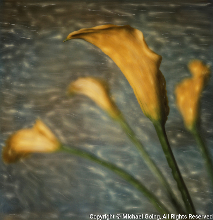 Altered Polaroid still life of four yellow Calla Lillies