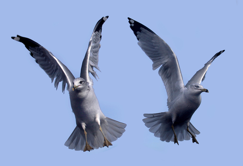 Two ring necked gulls hovering for some food.