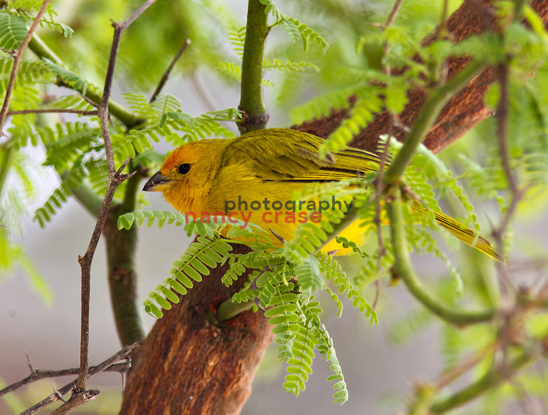 Eight people set out from Hilo, Hawaii on a Wilderness Inquiry hiking adventure on March 24, 2012, around the entire island.  From volcanic fields to rain forests, they saw the island as few tourists do...A Saffron Finch