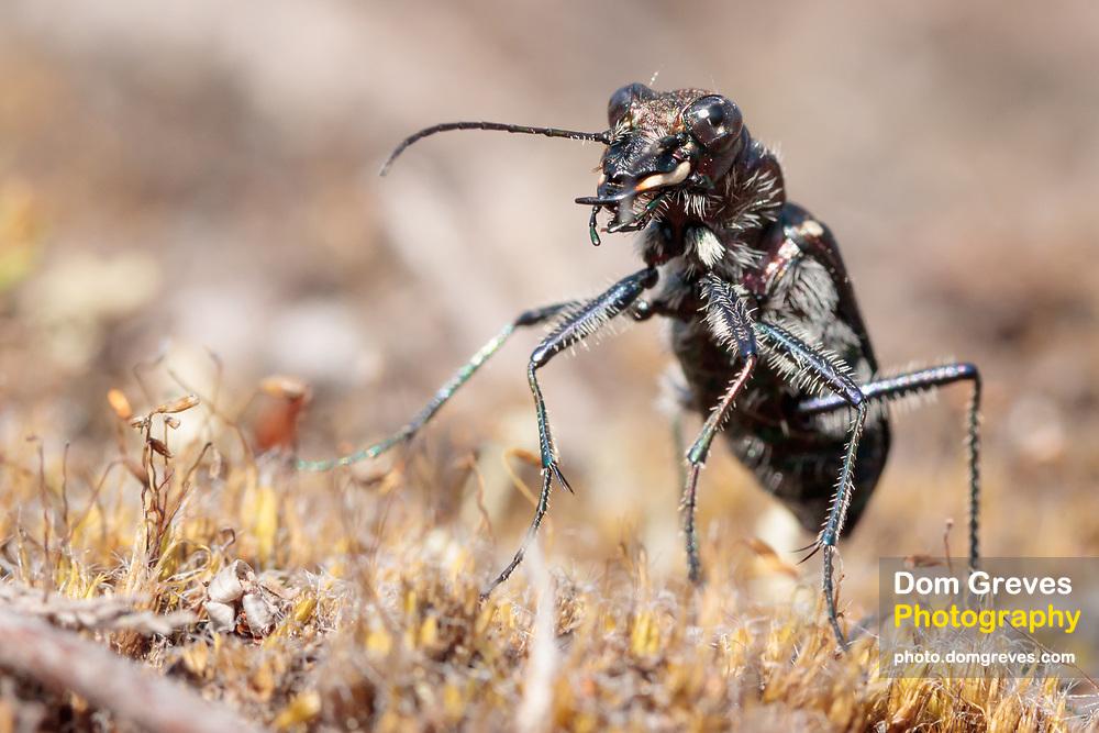 Heath tiger beetle (Cicindela sylvatica) on heathland. Surrey, UK.