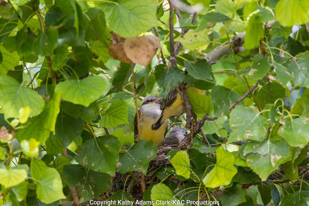 Western kingbird, Tyrannus verticalis, chicks, babies, nest, cottonwood, Marathon, Texas, west Texas
