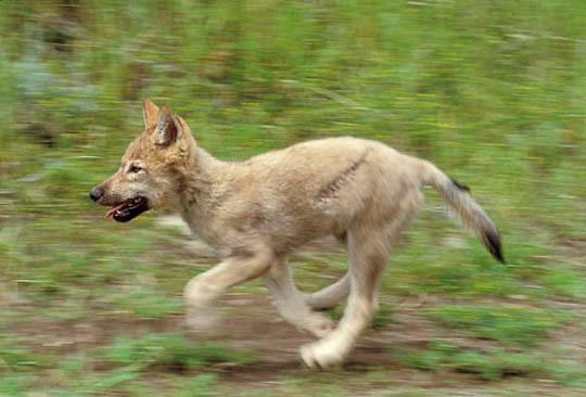 Gray Wolf, (Canis lupus) Pup running.  Captive Animal.