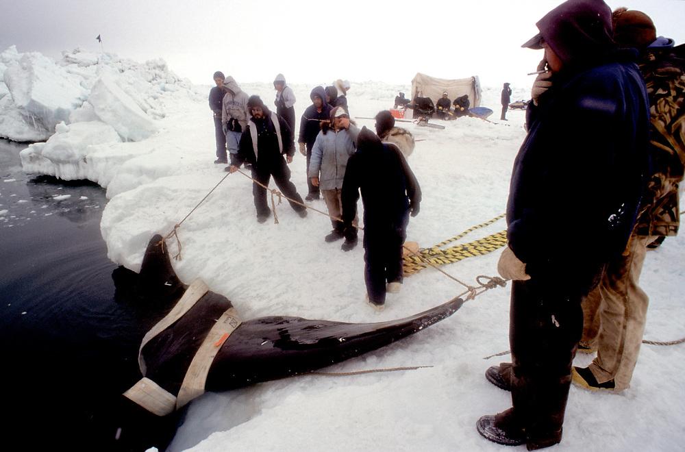 Alaska Native whalers near Barrow haul the carcass of a bowhead whale onto sea ice on the Chukchi Sea