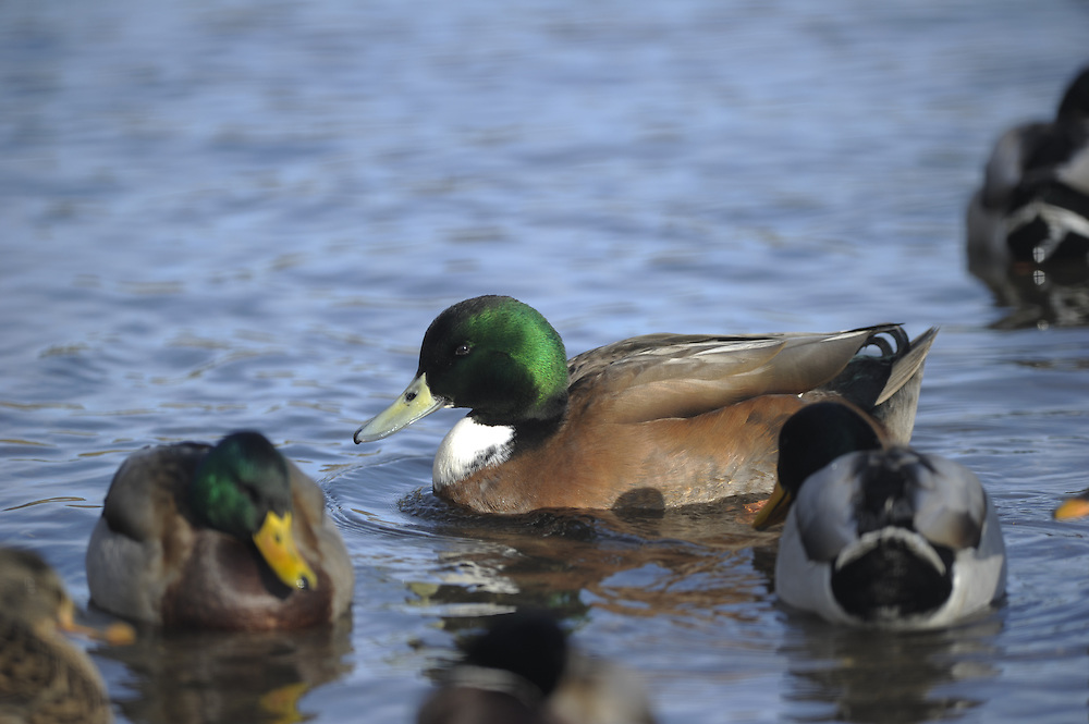 A hybrid mallard/wigeon swims along the Deschutes River.