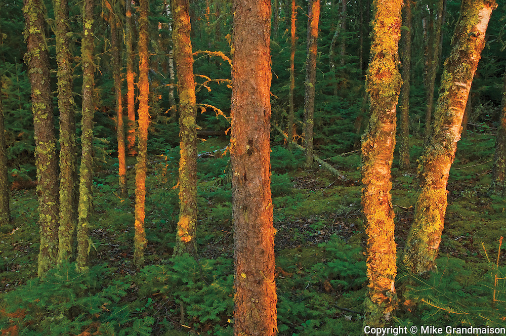 Fading light on the boreal forest<br />
