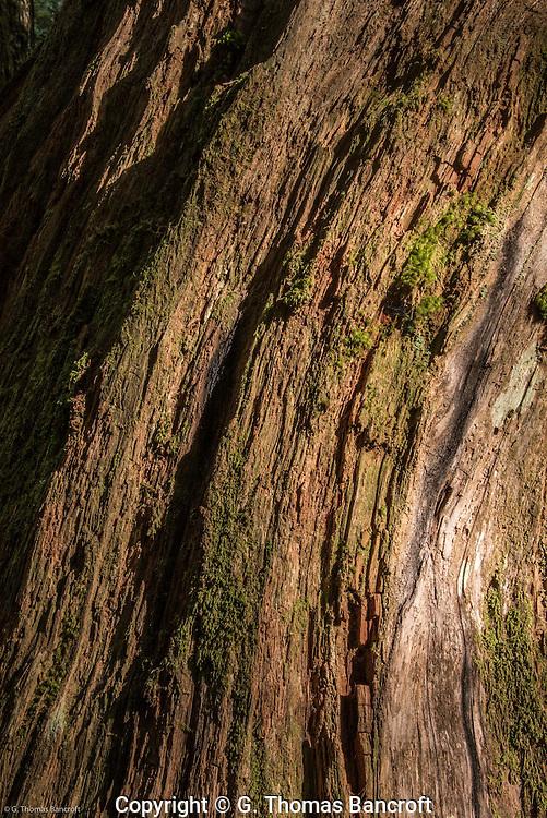 Red cedar trunk.