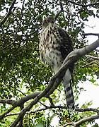 """A rarely seen and rarely photographed grey morph of the Chilean hawk, or Peuquito (Accipiter chilensis) perches on a limb of Nothofagus in forest near Hostaria Balmaceda, on Seno de Ultima Esperanza (Last Hope Sound), Patagonia, Chile, South America. Sharon Chester, author of """"A Wildlife Guide to Chile"""" (2008, Princeton University Press), identified this hawk based upon this web site image."""