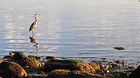 A great blue heron waits as the sun rises over the Pacific Ocean at Vantreight Beach, Victoria, BC