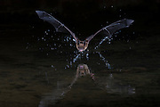 Big Brown Bat, Eptesicus fuscus, Santa Cruz County, Arizona