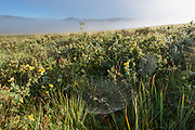 Early morning fog lifts from the Valle Grande, revealing a dew-covered grassland with orb webs strung from blooming shrubby cinquefoil, © 2017 David A. Ponton