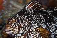 Aplodactylus arctidens (Marblefish)