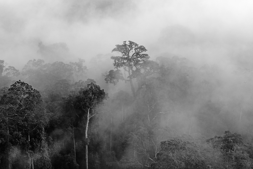 Tropical lowland rainforest, Sabah (Borneo) in dawn mists