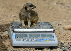 © Licensed to London News Pictures. 22/08/2012. A Meerkat on a set of scales. London, UK ZSL London Zoo conducts its annual weigh-in. Each of the 16,000 animals are measured and weighed. The information recorded is sent to zoos around the world. Photo credit : Stephen Simpson/LNP