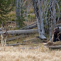 Gray wolves and Grizzly Bear in Yellowstone National Park