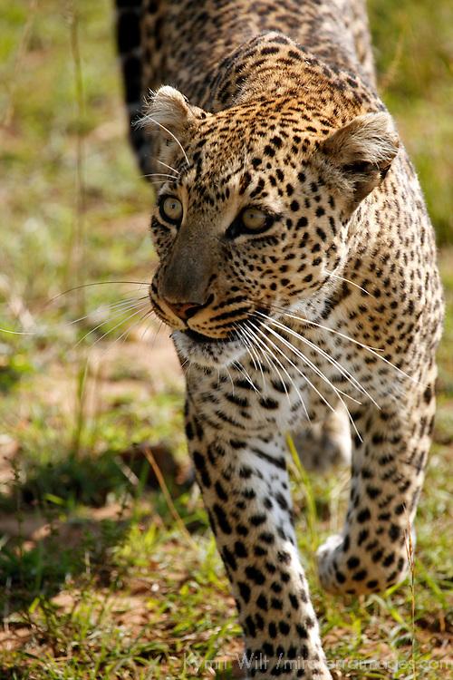 Africa, Kenya, Maasai Mara. Leopard.