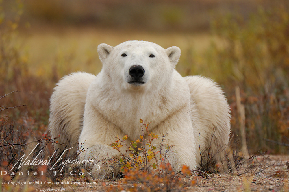 Polar Bear (Ursus maritimus) in fall colors.  Western Hudson Bay population, Manitoba, Canada