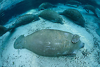 Florida manatee, Trichechus manatus latirostris, a subspecies of the West Indian manatee, endangered. An adult male manatee rests surrounded by others in the warm blue waters near a springhead. Fish, bream, Lepomis spp., mangrove snapper. Lutjanus griseus and sheepshead, Archosargus probatcephalus, gather around the manatee;s tail. Horizontal orientation with blue water and warming rainbow sun rays. Three Sisters Springs, Crystal River National Wildlife Refuge, Kings Bay, Crystal River, Citrus County, Florida USA.
