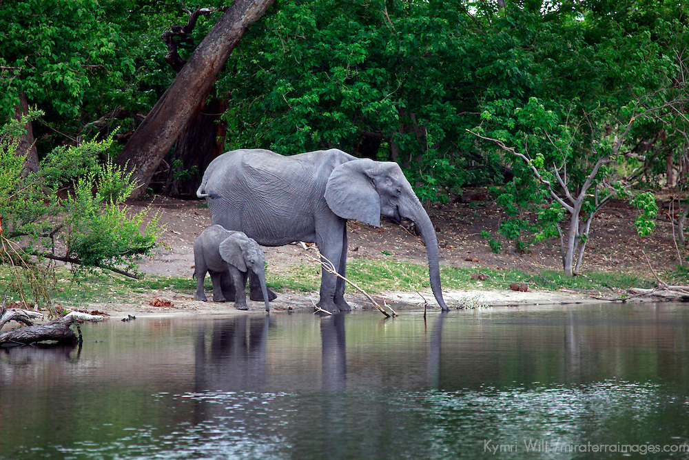 Africa, Botswana, Savute. Elephant and baby drinking water in Chobe National Park.