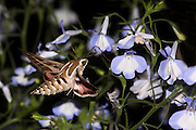 Striped Hawk-moth (Hyles livornica) Photographed in Israel